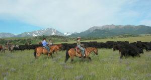 Sweet Grass Drive Cattle