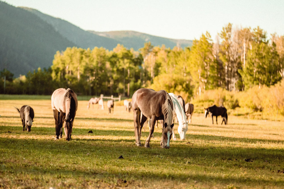 Rawah horses grazing in pasture